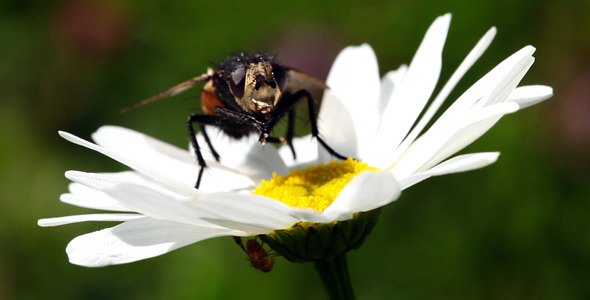 Fly On A Daisy Flower