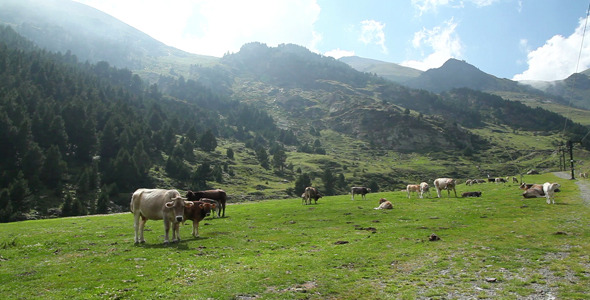 Cows On High Mountain