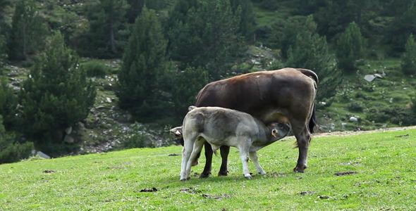 Calf Suckling