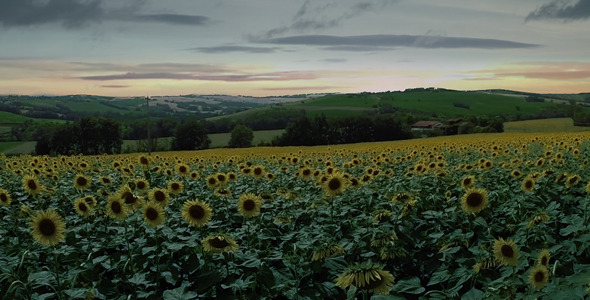 Drone Field of Sunflowers at Dawn