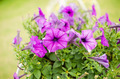 Violet Petunia or Petunia Hybrida Vilm - PhotoDune Item for Sale