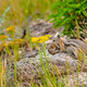Chipmunk carrying her baby - PhotoDune Item for Sale