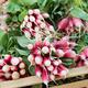 Fresh radish at the market - PhotoDune Item for Sale