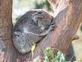 Koala - PhotoDune Item for Sale