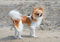 chihuahua on the beach - PhotoDune Item for Sale