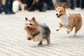 Two dogs running - PhotoDune Item for Sale