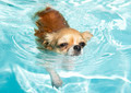 swimming chihuahua - PhotoDune Item for Sale