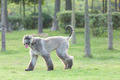 Afghan hound dog walking - PhotoDune Item for Sale