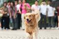 Golden retriever dog running - PhotoDune Item for Sale