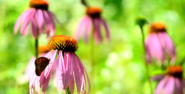 Coneflowers and Buterfly