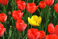 red and yellow tulips - PhotoDune Item for Sale