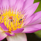 pink water lily with bee - PhotoDune Item for Sale