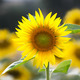 Sunflower (lat. Helianthus) at summertime, Germany - PhotoDune Item for Sale
