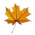 Maple leaf - PhotoDune Item for Sale