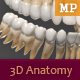 3D Anatomy - Human Teeth - 3DOcean Item for Sale