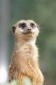 Meerkat - PhotoDune Item for Sale