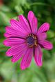 Osteospermum - PhotoDune Item for Sale