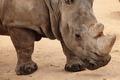 portrait of white rhino - PhotoDune Item for Sale