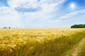 wheat field, sun and blue sky - PhotoDune Item for Sale