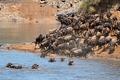 Wildebeest migration - PhotoDune Item for Sale