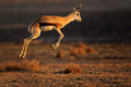Springbok antelope jumping - PhotoDune Item for Sale