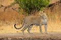 Alert leopard - PhotoDune Item for Sale