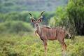 Kudu antelope - PhotoDune Item for Sale
