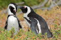 African penguins - PhotoDune Item for Sale