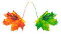 Orange and green yellowed maple-leaf - PhotoDune Item for Sale