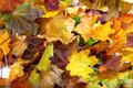 Autumn dry maple leafs - PhotoDune Item for Sale