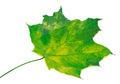 Yellowed maple leaf. Selective focus. - PhotoDune Item for Sale
