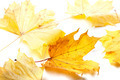 Autumn yellow maple-leafs - PhotoDune Item for Sale