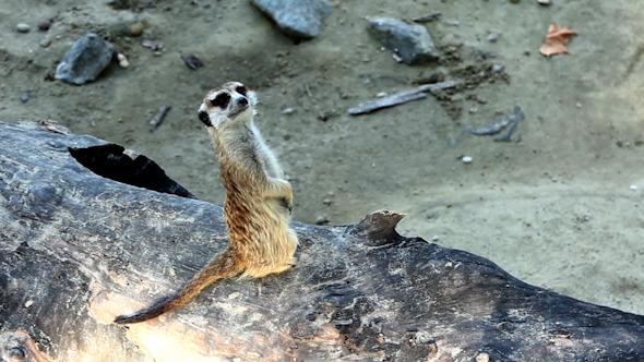 Meerkats Suricata Family