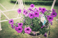Petunia or Petunia Hybrida Vilm vintage - PhotoDune Item for Sale