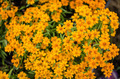 Zinnia angustifolia flowers - PhotoDune Item for Sale