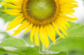 Helianthus or Sunflower - PhotoDune Item for Sale
