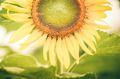 Helianthus or Sunflower vintage - PhotoDune Item for Sale