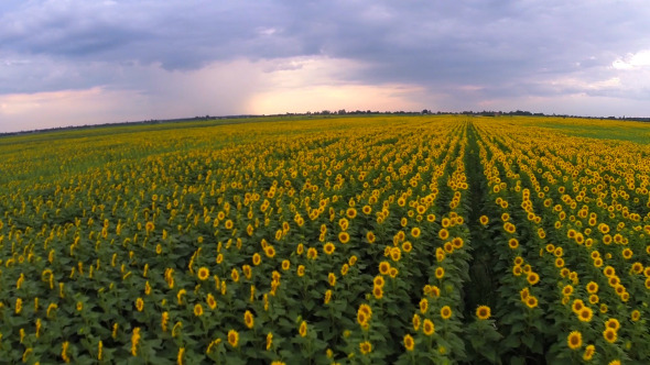 Aerial View Of A Sunflower Field 1