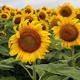 Large Sunflowers - VideoHive Item for Sale