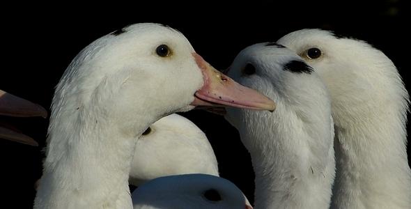 Ducks 15