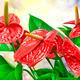 anthurium flower - PhotoDune Item for Sale