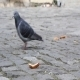 Pigeon Eating Bread  - VideoHive Item for Sale