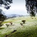 Winter Sheep - PhotoDune Item for Sale