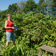 Picking blackberries - PhotoDune Item for Sale