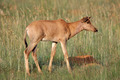 Tsessebe antelope calf - PhotoDune Item for Sale