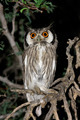 White-faced owl - PhotoDune Item for Sale