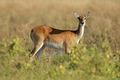 Red lechwe antelope - PhotoDune Item for Sale