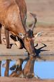 Red hartebeest drinking - PhotoDune Item for Sale