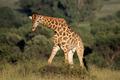 Male giraffe - PhotoDune Item for Sale
