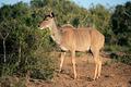 Kudu antelope 22 (k) - PhotoDune Item for Sale